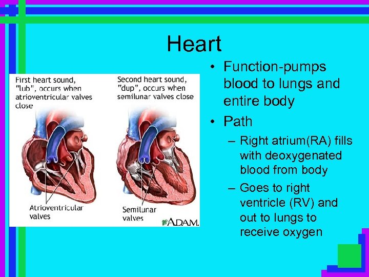 Heart • Function-pumps blood to lungs and entire body • Path – Right atrium(RA)