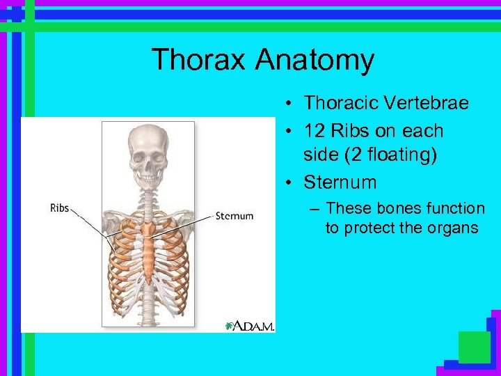 Thorax Anatomy • Thoracic Vertebrae • 12 Ribs on each side (2 floating) •