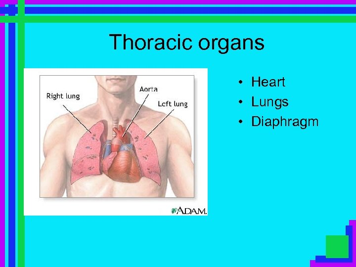 Thoracic organs • Heart • Lungs • Diaphragm