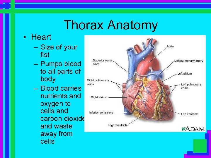 Thorax Anatomy • Heart – Size of your fist – Pumps blood to all