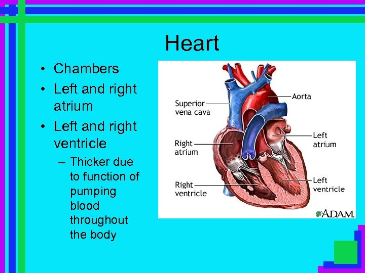 Heart • Chambers • Left and right atrium • Left and right ventricle –