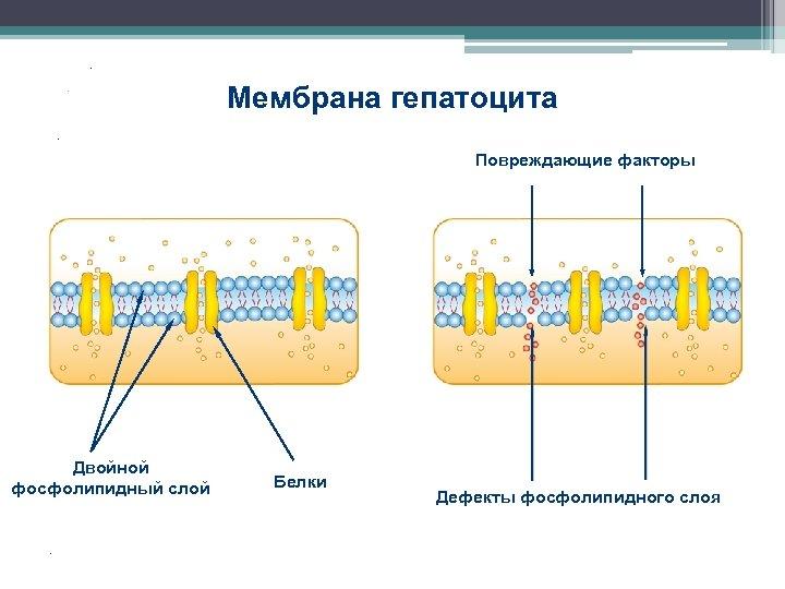. Мембрана гепатоцита . . Повреждающие факторы 35% 38, 2% 42% 83% 95% 55%