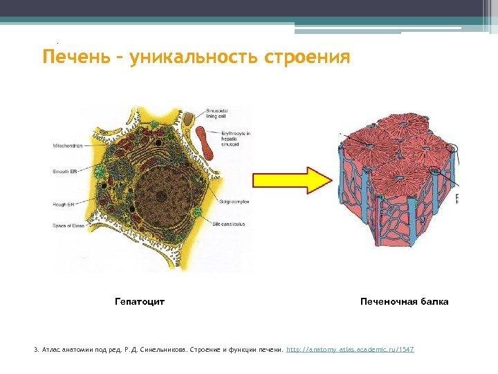 . Печень – уникальность строения . 35% 38, 2% 42% 83% 95% 55% Гепатоцит