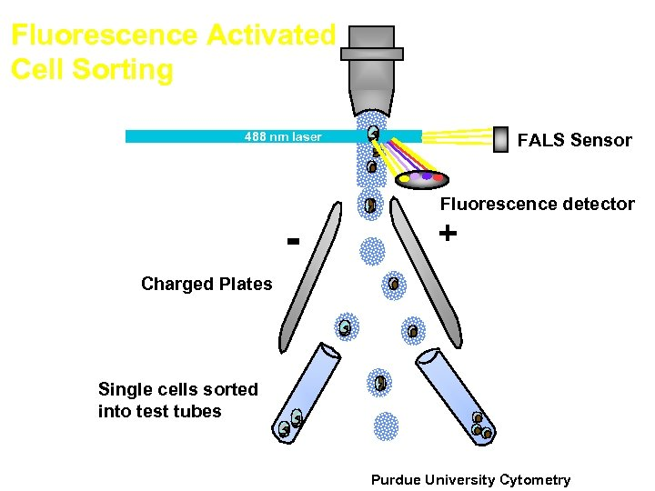 Fluorescence Activated Cell Sorting FALS Sensor 488 nm laser - Fluorescence detector + Charged