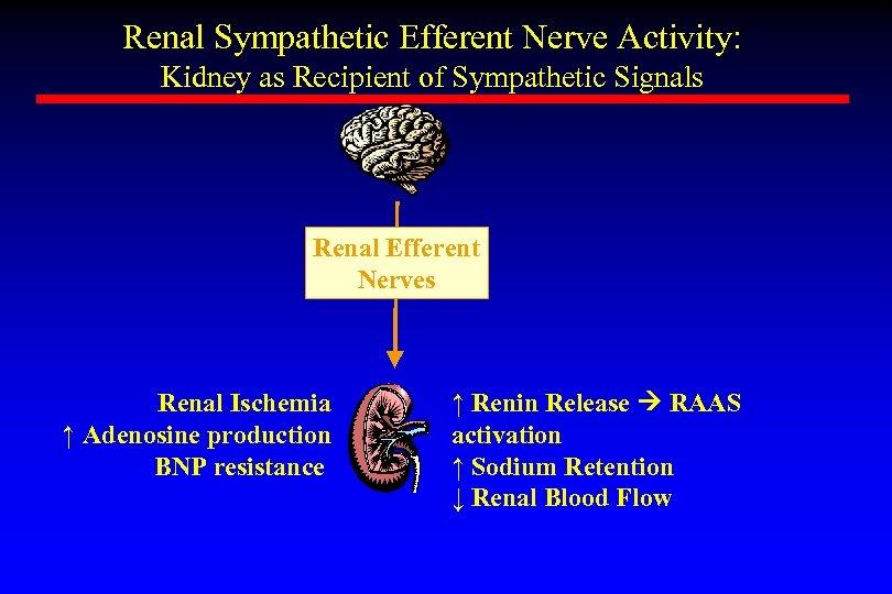 Renal Sympathetic Efferent Nerve Activity: Kidney as Recipient of Sympathetic Signals Renal Efferent Nerves