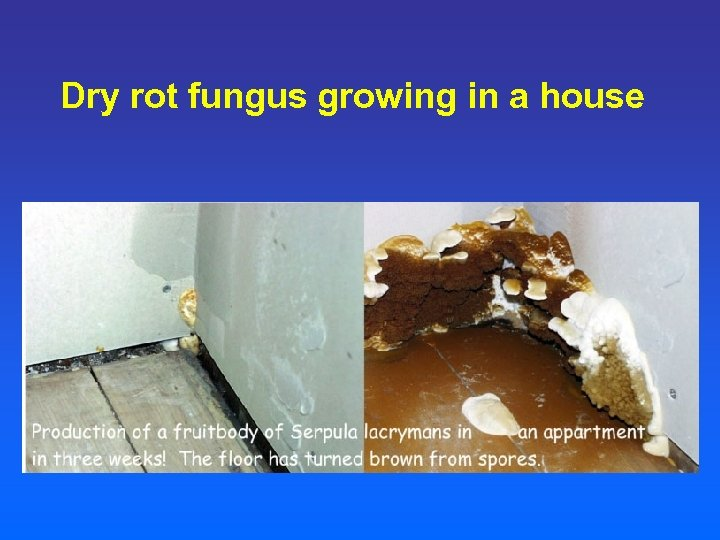Dry rot fungus growing in a house