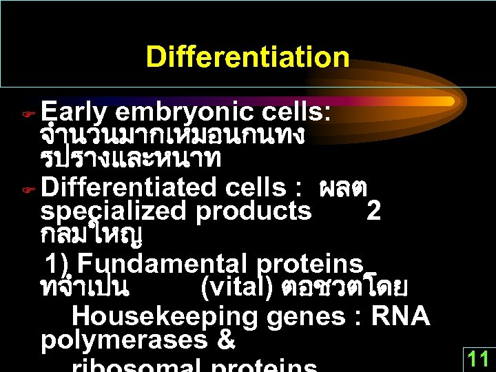 Differentiation Early embryonic cells: จำนวนมากเหมอนกนทง รปรางและหนาท F Differentiated cells : ผลต specialized products 2