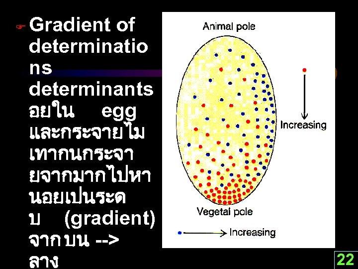 F Gradient of determinatio ns determinants อยใน egg และกระจายไม เทากนกระจา ยจากมากไปหา นอยเปนระด บ (gradient)