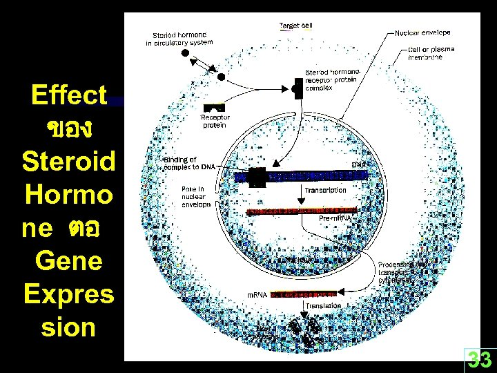 Effect ของ Steroid Hormo ne ตอ Gene Expres sion 33