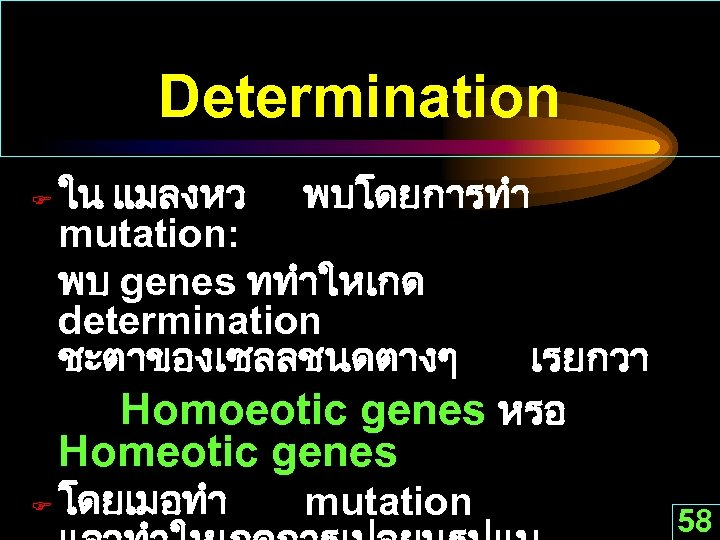 Determination F ใน แมลงหว พบโดยการทำ mutation: พบ genes ททำใหเกด determination ชะตาของเซลลชนดตางๆ เรยกวา Homoeotic genes