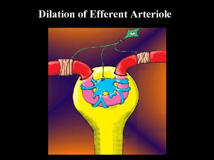 Dilation of Efferent Arteriole