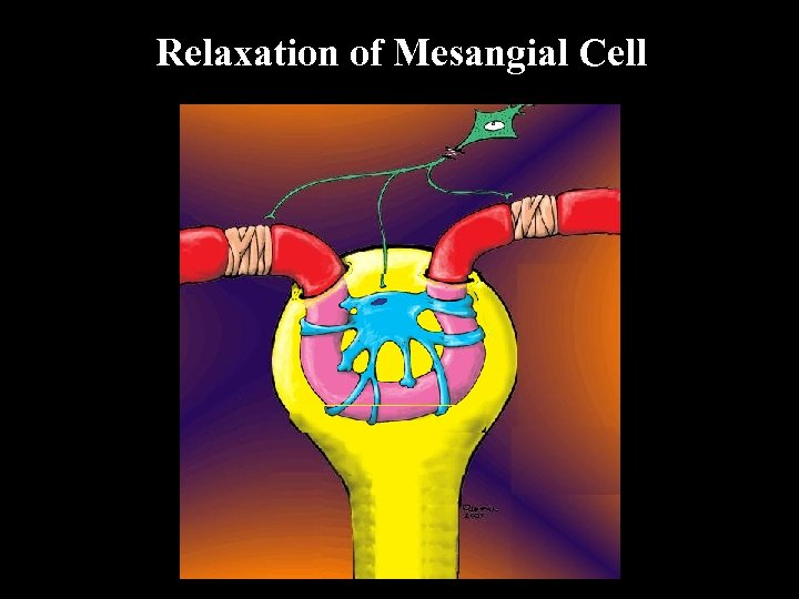 Relaxation of Mesangial Cell