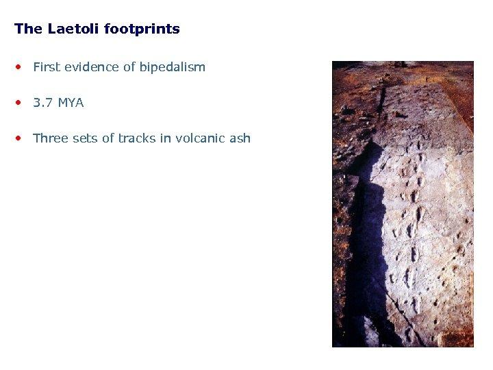 The Laetoli footprints • First evidence of bipedalism • 3. 7 MYA • Three