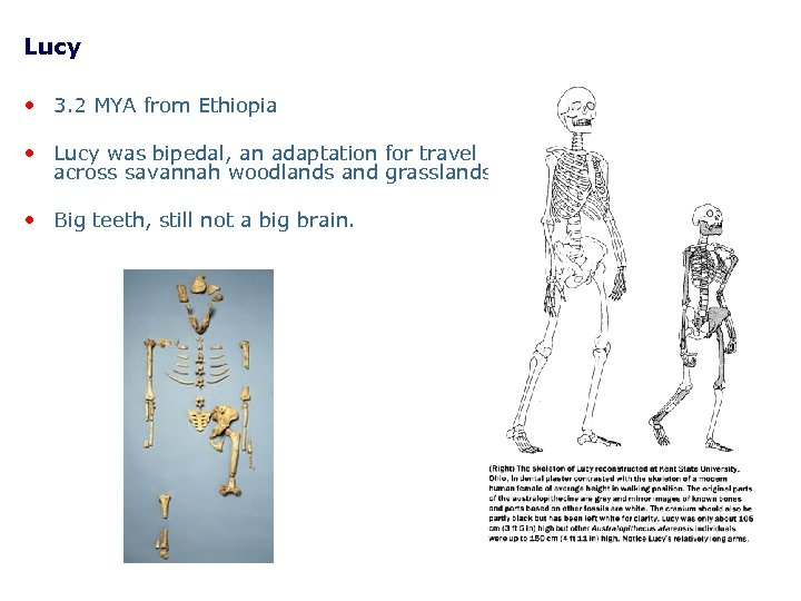 Lucy • 3. 2 MYA from Ethiopia • Lucy was bipedal, an adaptation for