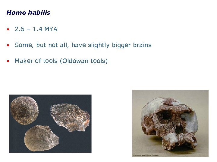 Homo habilis • 2. 6 – 1. 4 MYA • Some, but not all,