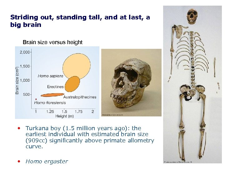 Striding out, standing tall, and at last, a big brain Brain size versus height