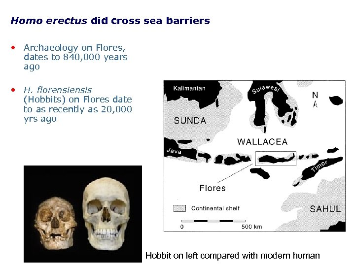Homo erectus did cross sea barriers • Archaeology on Flores, dates to 840, 000