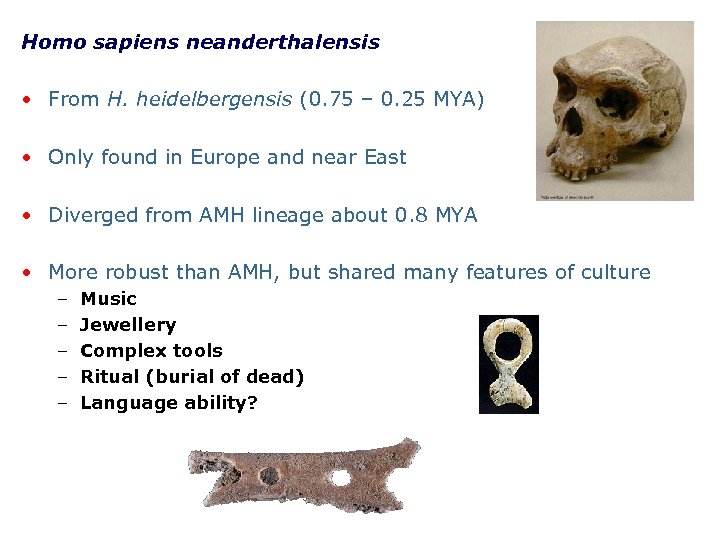 Homo sapiens neanderthalensis • From H. heidelbergensis (0. 75 – 0. 25 MYA) •