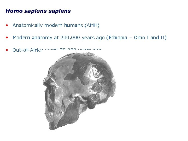 Homo sapiens • Anatomically modern humans (AMH) • Modern anatomy at 200, 000 years