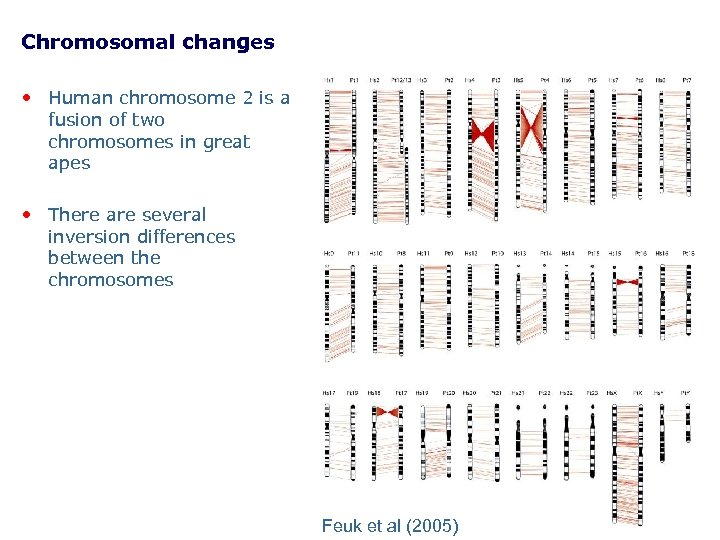 Chromosomal changes • Human chromosome 2 is a fusion of two chromosomes in great