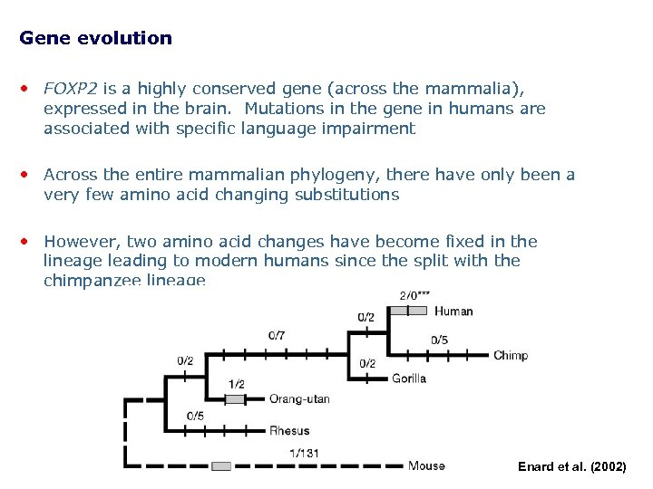 Gene evolution • FOXP 2 is a highly conserved gene (across the mammalia), expressed