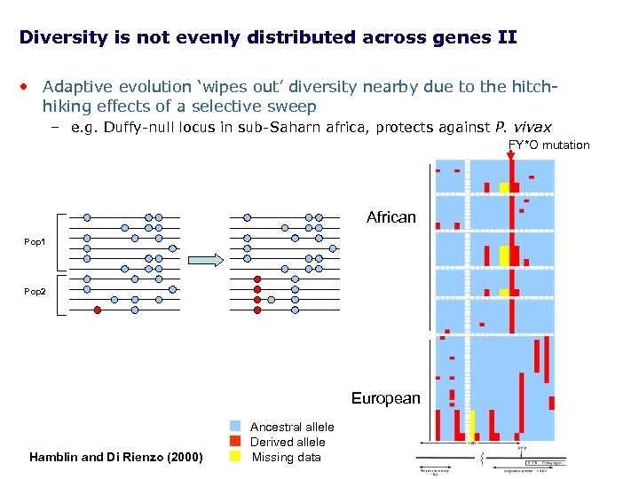 Diversity is not evenly distributed across genes II • Adaptive evolution 'wipes out' diversity