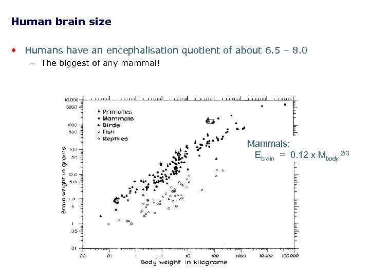 Human brain size • Humans have an encephalisation quotient of about 6. 5 –