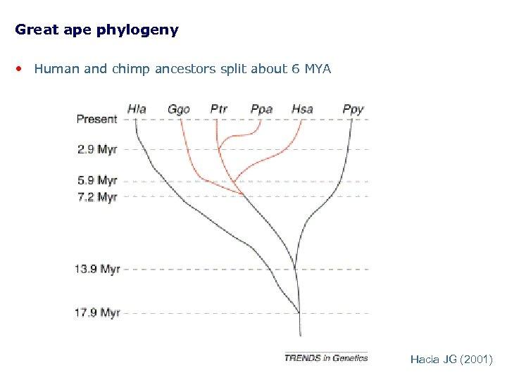 Great ape phylogeny • Human and chimp ancestors split about 6 MYA Hacia JG