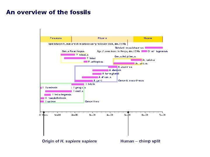 An overview of the fossils Origin of H. sapiens Human – chimp split