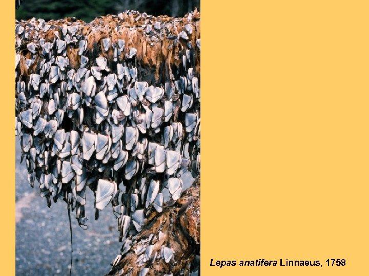 Lepas anatifera Linnaeus, 1758