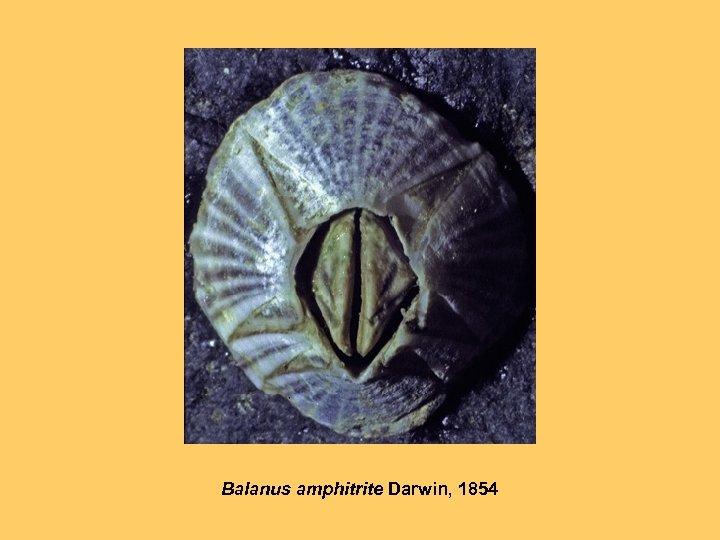 Balanus amphitrite Darwin, 1854