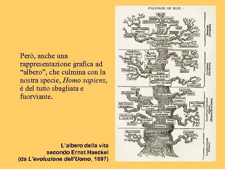 """Però, anche una rappresentazione grafica ad """"albero"""", che culmina con la nostra specie, Homo"""