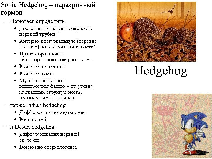 Sonic Hedgehog – паракринный гормон – Помогает определить • Дорсо-вентральную полярность нервной трубки •
