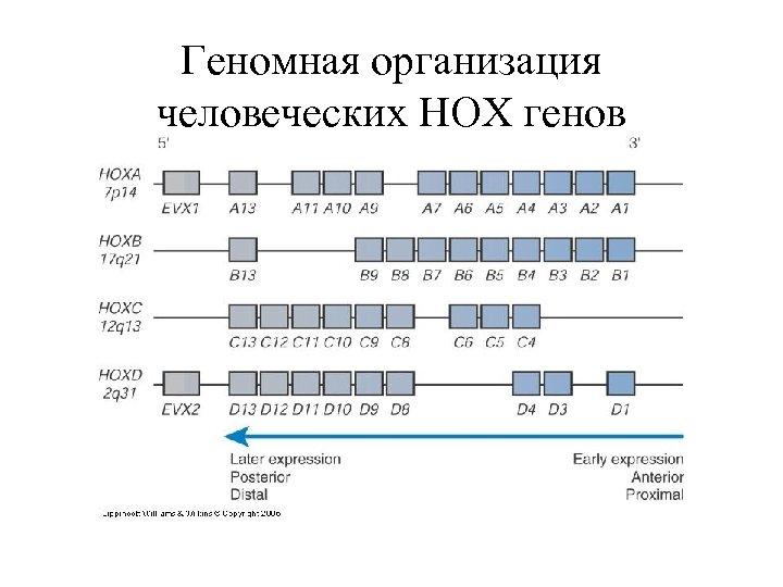 Геномная организация человеческих HOX генов