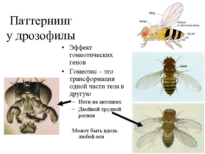 Паттернинг у дрозофилы • Эффект гомеотических генов • Гомеозис – это трансформация одной части