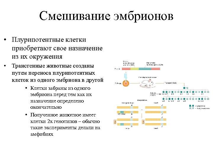 Смешивание эмбрионов • Плурипотентные клетки приобретают свое назначение из их окружения • Трансгенные животные