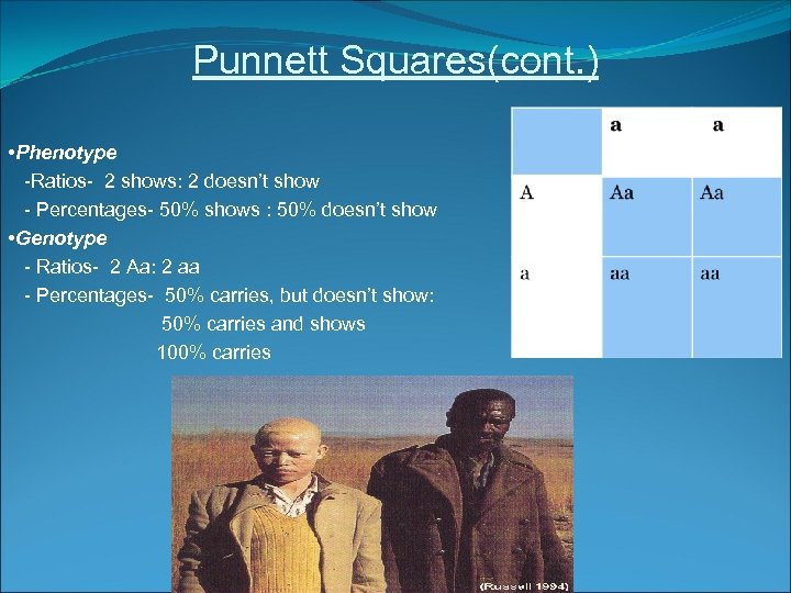Punnett Squares(cont. ) • Phenotype -Ratios- 2 shows: 2 doesn't show - Percentages- 50%