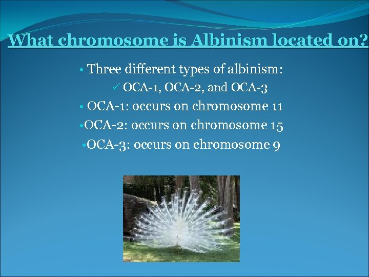 What chromosome is Albinism located on? • Three different types of albinism: ü OCA-1,