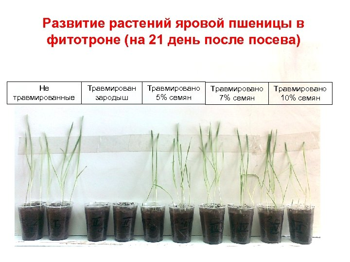 Развитие растений яровой пшеницы в фитотроне (на 21 день после посева) Не травмированные Травмирован