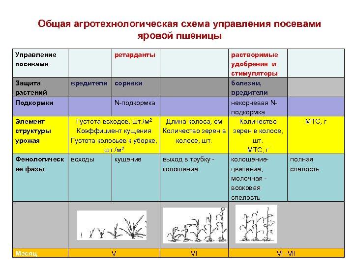 Общая агротехнологическая схема управления посевами яровой пшеницы Управление посевами Защита растений Подкормки Элемент структуры