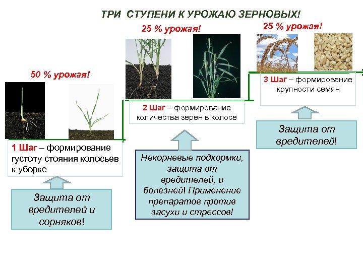 ТРИ СТУПЕНИ К УРОЖАЮ ЗЕРНОВЫХ! 25 % урожая! 50 % урожая! 25 % урожая!