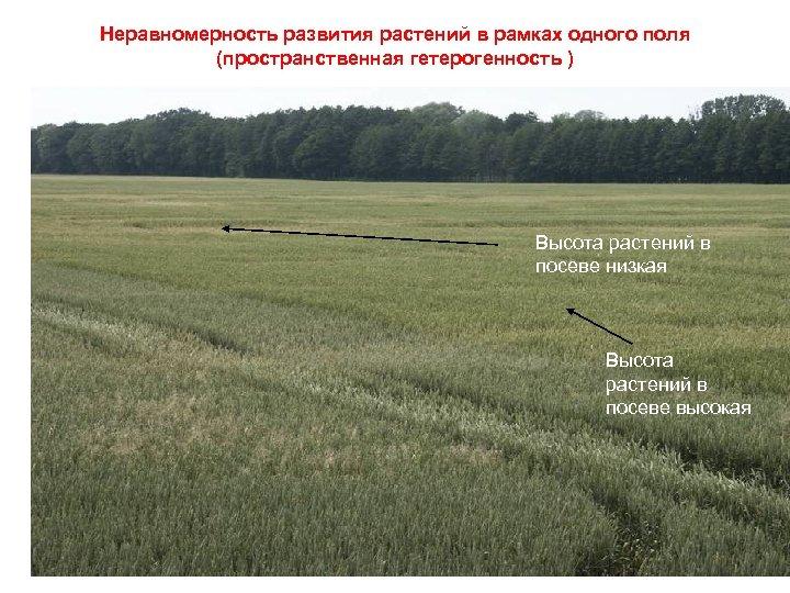 Неравномерность развития растений в рамках одного поля (пространственная гетерогенность ) Высота растений в посеве