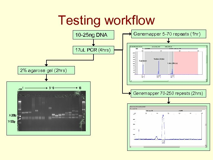 Testing workflow 10 -25 ng DNA Genemapper 5 -70 repeats (1 hr) 17 u.