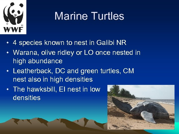 Marine Turtles • 4 species known to nest in Galibi NR • Warana, olive