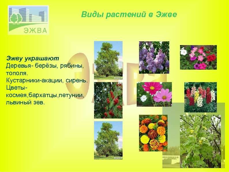 Виды растений в Эжве Эжву украшают Деревья- берёзы, рябины, тополя. Кустарники-акации, сирень. Цветыкосмея, бархатцы,