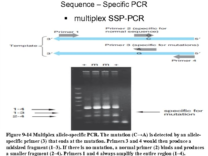 Sequence – Specific PCR § multiplex SSP-PCR Figure 9 -14 Multiplex allele-specific PCR. The