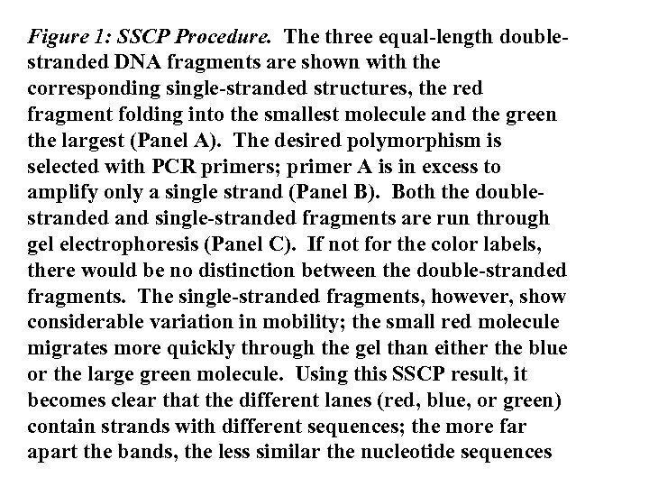Figure 1: SSCP Procedure. The three equal-length doublestranded DNA fragments are shown with the