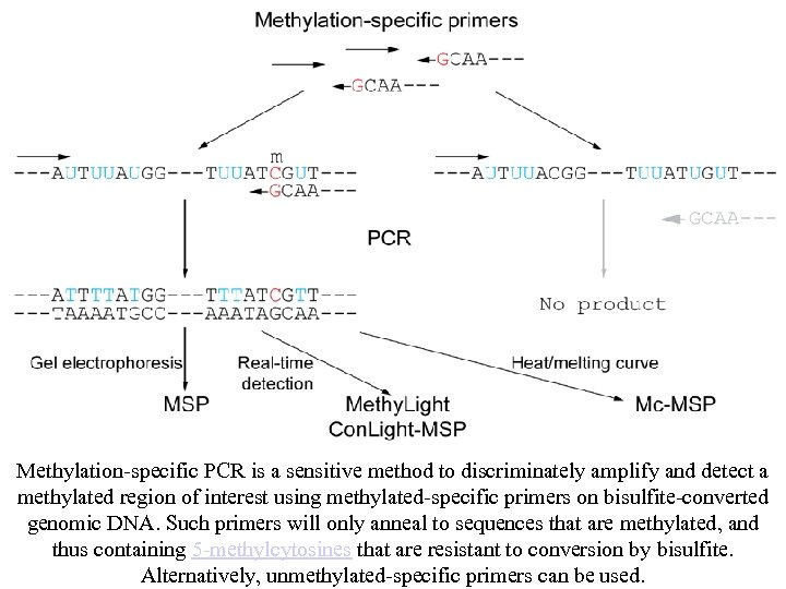 Methylation-specific PCR is a sensitive method to discriminately amplify and detect a methylated region