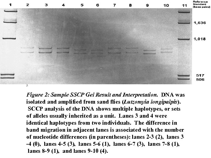 ). Figure 2: Sample SSCP Gel Result and Interpretation. DNA was isolated and amplified