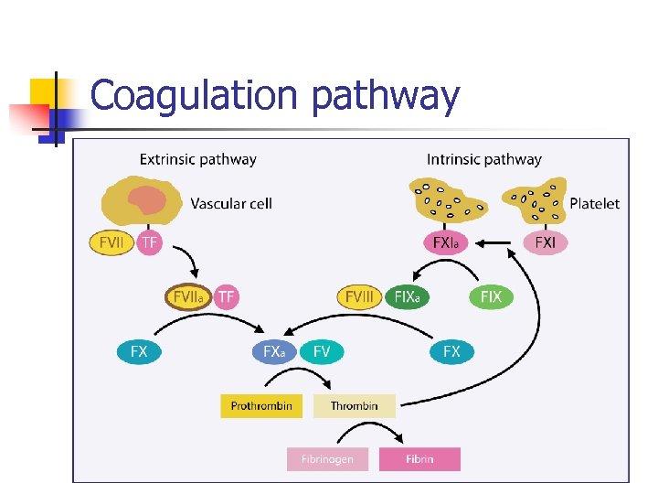 Coagulation pathway